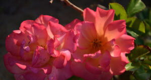 Rose-Flowers-Pic