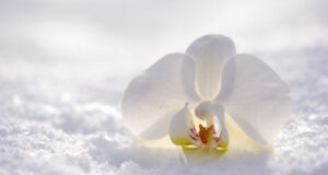 White-Orchid-Flower-in-Snow-Image
