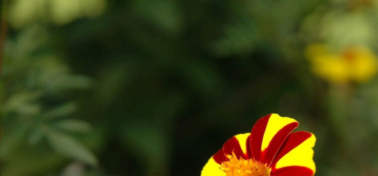 Red-and-Yellow-Flower-Pic