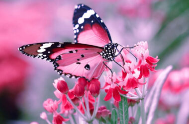 Butterfly-on-Flowers-HD-Pic