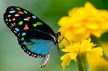 Butterfly-on-Yellow-Flower-Full-HD-Pic