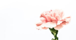 Pink-Flower-HD-Pic