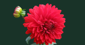 Red-Dahlia-Flower-HD-Pic