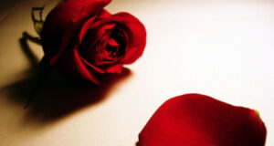 Red-Rose-Flower-HD-Pic