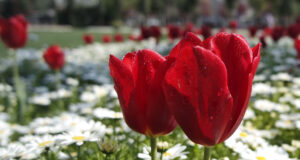 Red-Tulips-in-the-Garden-Pic