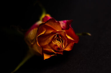 Rose-Flower-HD-Pic