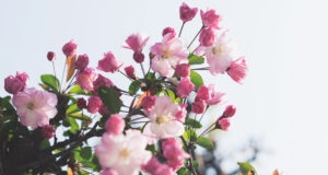White-and-Pink-Flowers-HD-Pic