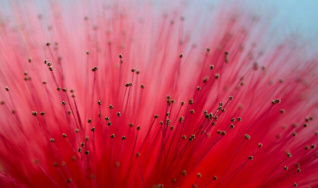 Calliandra Flower HD Pic