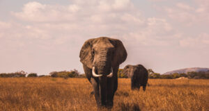 Elephants-Walking-on-Grass-Covered-Ground-Pic
