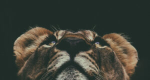 Lion-Looking-up-Photo