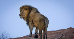 Lion-Standing-on-Hill-HD-Photo