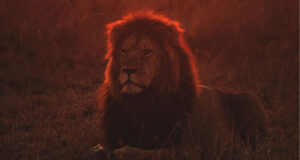 Lion-on-Green-Grass-During-Golden-Hour-Pic