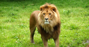 Lion-on-Green-Grass-Field-HD-Pic