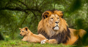 Lion-on-Green-Grass-Field-Pic