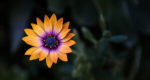 Orange-and-Purple-Flower-HD-Pic