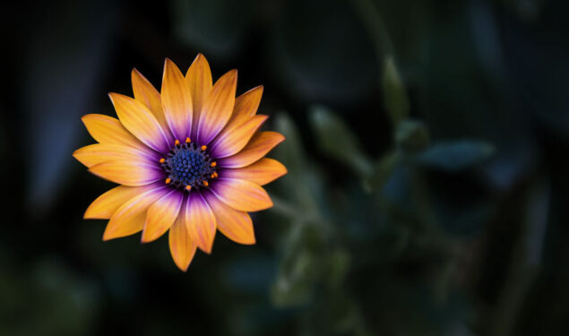 Orange and Purple Flower HD Pic