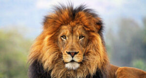 Pic-of-Lion-in-HD