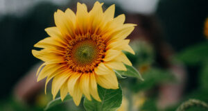 Sunflower-Pic-HD