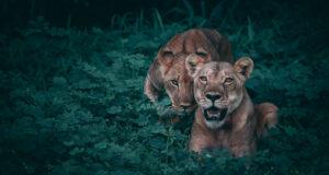 Two-Lioness-on-Green-Plants-Image