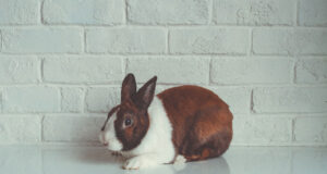 Brown-and-White-Rabbit-HD-Image