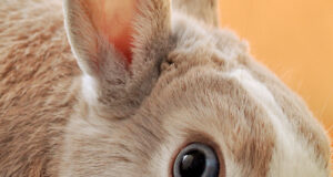 Brown-and-White-Rabbit-Pic