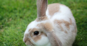 White-and-Brown-Rabbit-HD-Pic