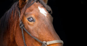 Brown-Horse-Pic