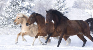 Horses-on-Snow-HD-Pic