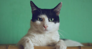 Black-and-White-Cat-HD-Pic