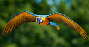 Colorful-Parrot-Flying-HD-Pic