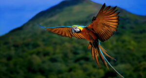 Colorful-Parrot-Flying-Pic-HD