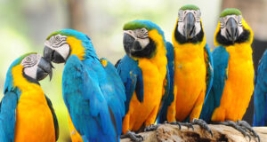 Full-HD-Image-of-Colorful-Parrots