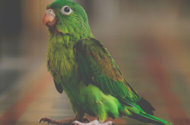 Green-Parrot-HD-Image