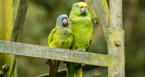 Green-Parrots-HD-Image