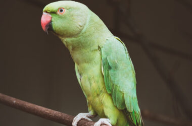 HD-Image-of-Green-Parrot