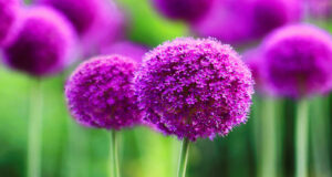 Allium-Flower-Full-HD-Wallpaper