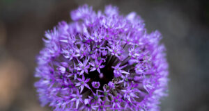 Allium-Flower-Image-in-HD