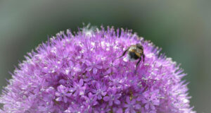 Allium-Flower-Pic