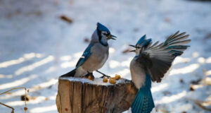Blue-Jay-Pic