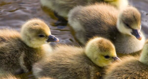 Duck-Babies-HD-Image