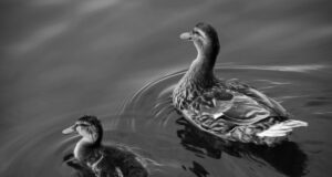 Duck-with-Baby-Black-and-White-Pic