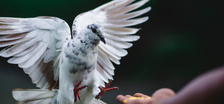 Flying-Dove-Image-HD