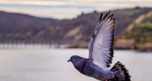Flying-Pigeon-HD-Pic