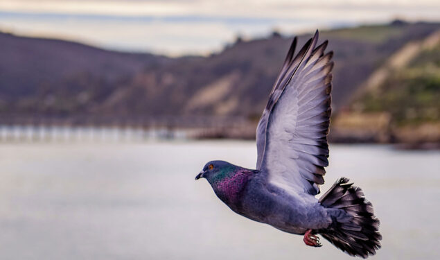 Flying Pigeon HD Pic