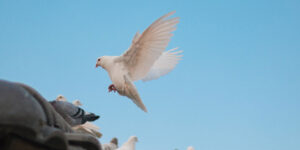 Flying White Dove HD Image