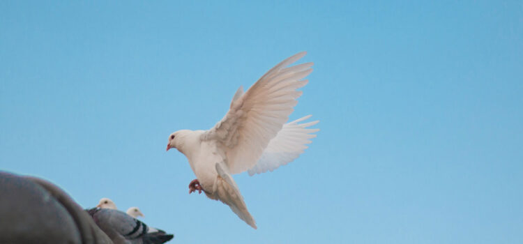 Flying-White-Dove-HD-Image