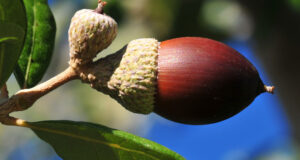 Full-HD-Pic-of-Acorn