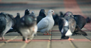 Group-of-Pigeon-HD-Image