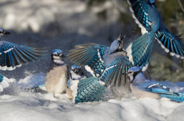 HD-Pic-of-Blue-Jay