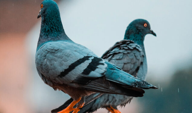 HD Pic of Two Gray Pigeon